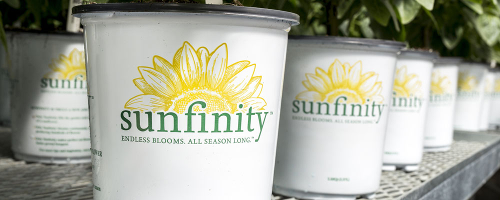 Sunfinity Sunflower in Branded White Pot