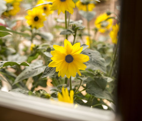 Sunfinity Sunflower viewed from your window