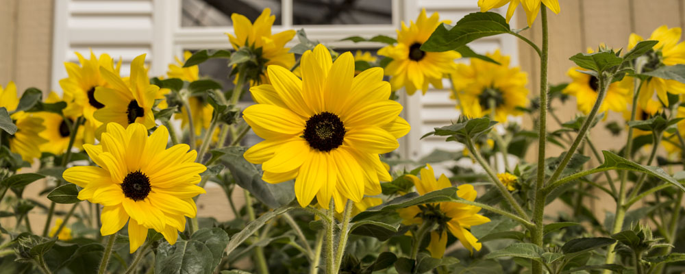 Sunfinity Sunflower Planted in Front of Barn Door Shutters