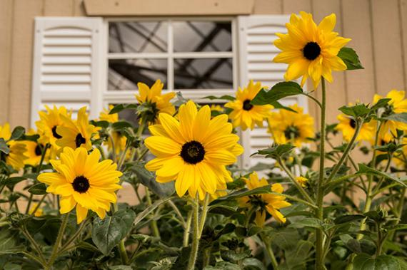 Sunfinity Sunflowers For Garden Beds Sunfinity