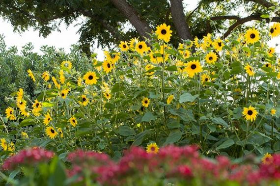 Landscape Gardening With Sunfinity Sunflowers Sunfinity