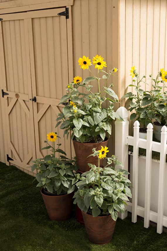 Container Gardening With Sunfinity Sunflowers Sunfinity